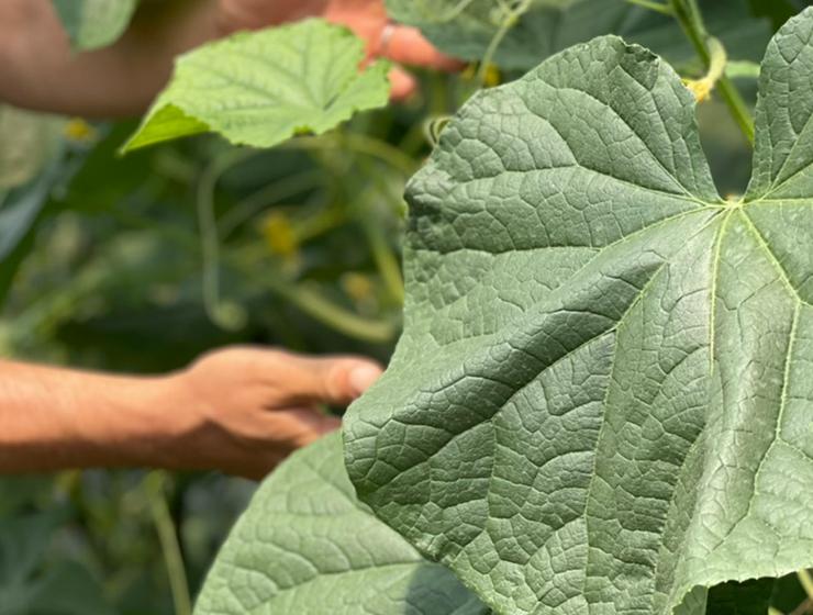 生育する胡瓜の葉