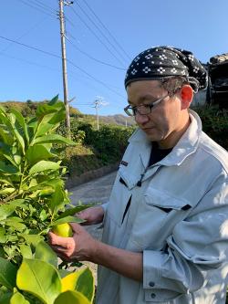 生口島_レモンの収穫